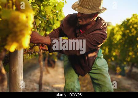Farmer décrochant le raisin pendant la période des récoltes. Jeune homme dans la récolte de raisin vigne. Raisins Banque D'Images