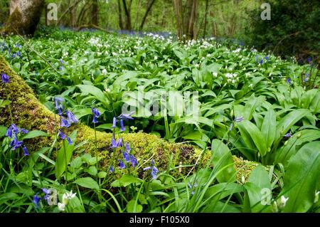 L'ail des bois, dans le Somerset, également appelé Allium ursinum, Allium, ransomes, buckrams avec jacinthes en Banque D'Images