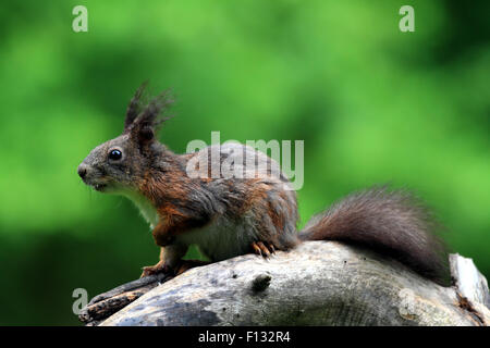 Eurasienne alerte l'Écureuil roux (Sciurus vulgaris)