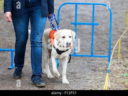 Une personne aveugle est dirigée par son golden retriever chien-guide au cours de la dernière formation pour le Banque D'Images