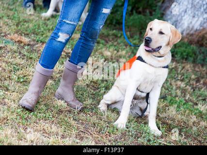 Un formateur est debout à côté d'un golden retriever chien-guide au cours de la dernière formation de l'animal. Banque D'Images