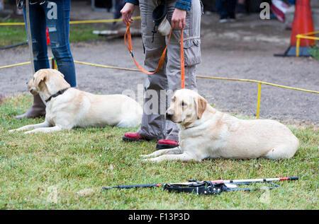 Les personnes aveugles participent avec leurs chiens golden retriever au cours de la dernière formation pour les Banque D'Images