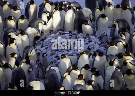 Manchot Empereur (Aptenodytes forsteri) Crèche de poussins piaillent entouré par des adultes, l'Antarctique, septembre. Banque D'Images