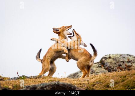 Loup éthiopien (Canis simensis) petits jouer combats, Bale Mountains National Park, l'Éthiopie. Banque D'Images