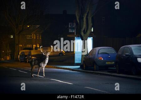 Le daim (Dama dama) buck crossing Road en face de l'arrêt de bus. Londres, Royaume-Uni. Janvier. Banque D'Images