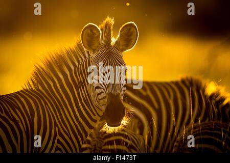 Le zèbre de Crawshay (Equus quagga crawshayi) dans la lumière du soir, le parc national de South Luangwa, en Zambie. Banque D'Images