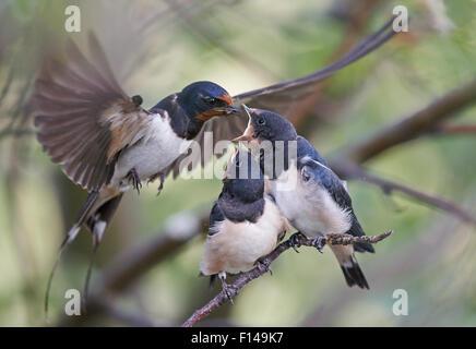 Swallow (Hirundo rustica) nourrir les poussins, l'OTU, Finlande, Juillet. Banque D'Images