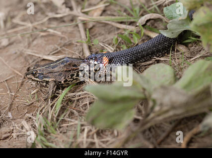 Grass snake eating frog Banque D'Images