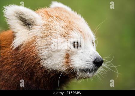 3/4 Portrait d'un panda rouge sur fond vert Banque D'Images