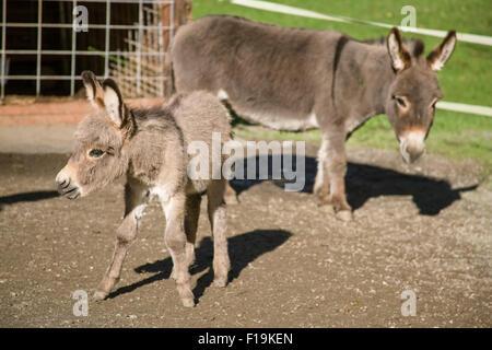 La mère et l'ânon l'âne miniature méditerranéenne chez Baxter Grange en automne Ville, Washington, USA Banque D'Images
