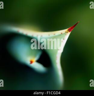 Vue rapprochée de l'aloès les feuilles des plantes et de l'épine au-dessus Banque D'Images
