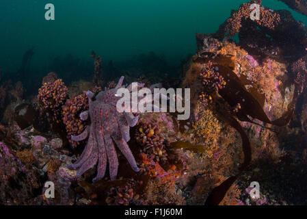 Un tournesol star Pycnopodia helianthoides au bas photographié en Alaska