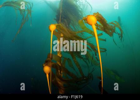 Un stand de bull kelp Nereocytis luetkeana montrant la lampe flottante appelée une pneumatocyst