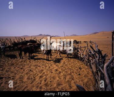 Kraal de bovins dans la région de la rivière Kunene, Namibie, Afrique