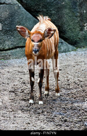 Dans l'antilope bongo Tragelaphus eurycerus,habitat naturel Banque D'Images