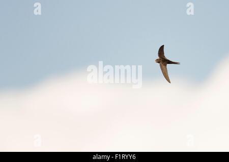 / Swift Mauersegler commun ( Apus apus ) en vol en face de bleu ciel nuageux. Banque D'Images