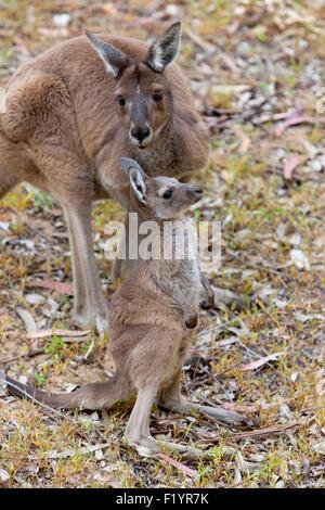 Kangourou gris de l'Ouest (Macropus fuliginosus) Femmes joey Parc National de Yanchep Australie Banque D'Images