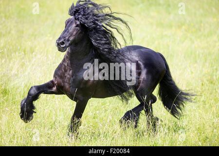 Cheval frison étalon noir trottant pasture Allemagne