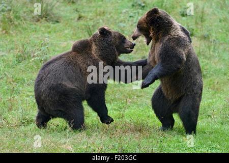 Ursus arctos Ours brun eurasien / / Ours brun / Europaeische Braunbaeren de jouer les uns avec les autres. Banque D'Images