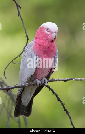 Un cacatoès Rosalbin sauvage assis sur une branche, à la recherche.