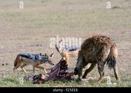 La réserve de Masai Mara, Kenya, l'Hyène tachetée (Crocuta crocuta) et chabraque chacal (Canis mesomelas) manger Banque D'Images