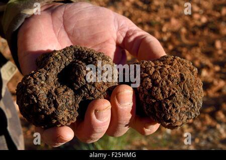 La France, Var, Bauduen, Le Domaine du Hameau des Clos de la truffe producteur Marcel Demaria, la truffe d'été (Tuber Banque D'Images