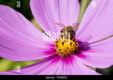 Apis abeille pollinisant Cosmos rose belle fleur sur fond vert Banque D'Images