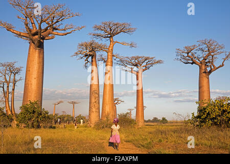 avenue de baobab madagascar banque d 39 images photo stock. Black Bedroom Furniture Sets. Home Design Ideas