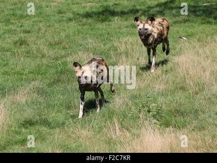 Deux lycaons (Lycaon pictus) courir vite Banque D'Images