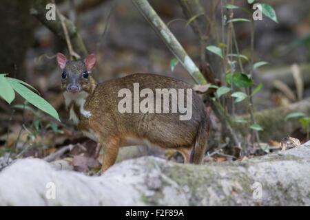 Une moindre timide de nourriture des Cerfs de la souris sur le sol forestier dans Phukhieu Chiayaphum dans le Sanctuaire de faune dans le nord-est de la Thaïlande