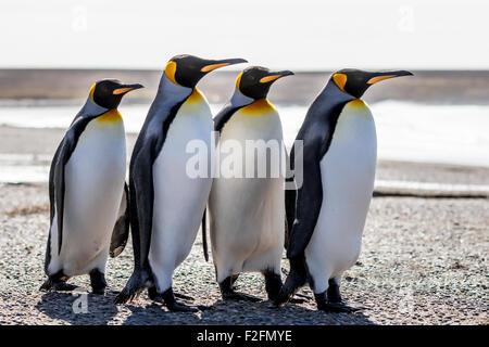Quatre manchots royaux (Aptenodytes patagonicus) debout ensemble sur une plage. Point de bénévolat, îles Falkland.