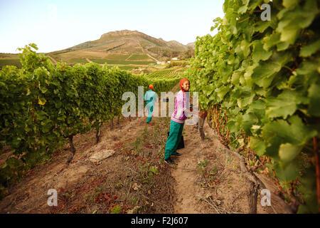 Young Woman picking grapes en vignoble. Travailleuse de raisins verts coupe à partir d'une vigne en automne la récolte. Banque D'Images
