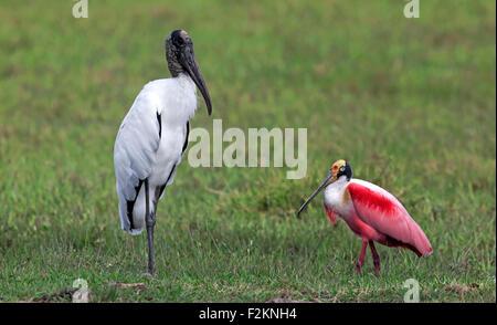 Wood stork (Mycteria americana), roseate spoonbill (Ajaia ajaja), adultes, dans un pré, alimentation, Pantanal, Banque D'Images