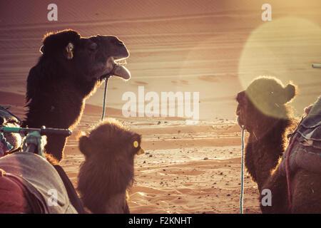 Des chameaux dans le désert au cours d'un repos. La lumière du lever du soleil, les reflets. Banque D'Images