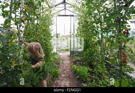 Petite fille, 2 ans, la cueillette des tomates du patrimoine dans la serre. Bristol. UK.