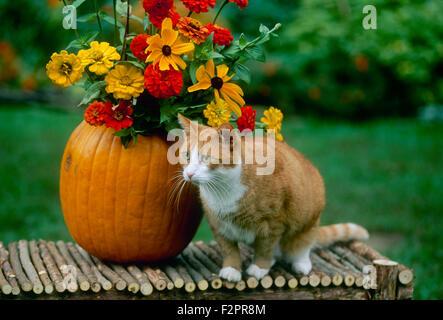 Récolte d'automne décoration sur un banc avec un chat tabby orange citrouille à côté d'un vase rempli de fleurs Banque D'Images