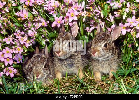 Trois bébé lapin, Sylvilagus floridanus, cacher en rose dianthus fleurs à la frontière de la pelouse, Missouri USA Banque D'Images