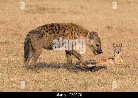 Le Chacal (Canis mesomelas faim) regardant une hyène tachetée (Crocuta crocuta) lors d'une carcasse, Maasai Mara Banque D'Images