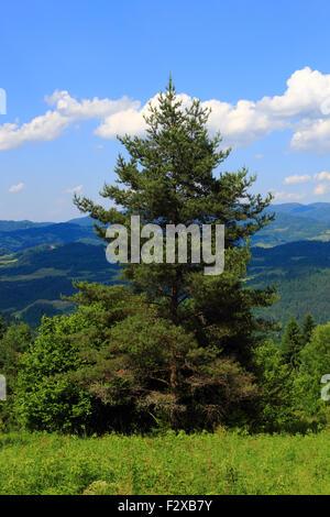 L'été dans les montagnes. Le pin solitaire. La Slovaquie, Pieniny. Banque D'Images