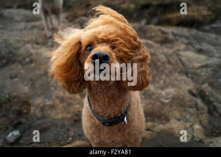 Caniche toy rouge au conte de piscines sur l'île de Skye avec vent qui souffle une oreille sur son visage quand Banque D'Images