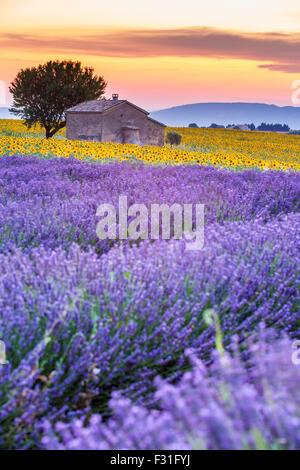 Provence, Plateau de Valensole, champ de lavande en fleurs Banque D'Images