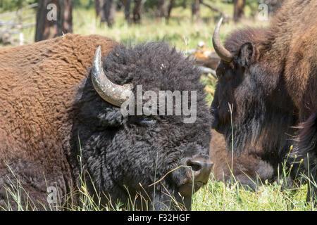 Un bison, bison, dans un champ. Banque D'Images