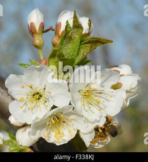 Collecte d'abeilles pollen d'une fleur blanche
