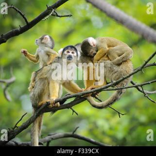 Black-capped les singes écureuils assis sur branche d'arbre avec leurs adorables petits bébés