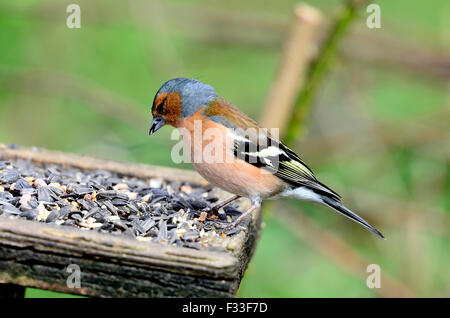 Un pinson mâle sur un tableau d'oiseaux UK Banque D'Images