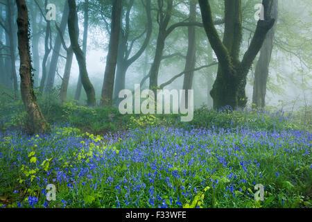 62 jacinthes des bois près de Minterne Magna à l'aube, Dorset, England, UK Banque D'Images