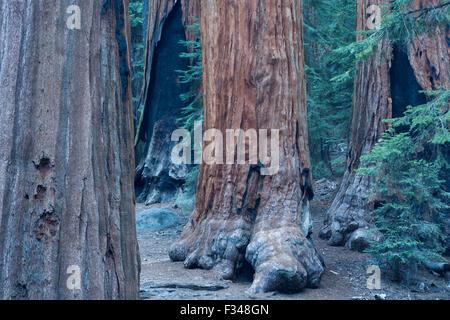 Les arbres Séquoia géant à Sequoia National Park, Californie, USA