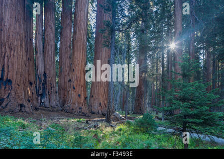 Le Groupe sénatorial d'arbres Séquoia géant sur la piste du Congrès à Sequoia National Park, Californie, USA