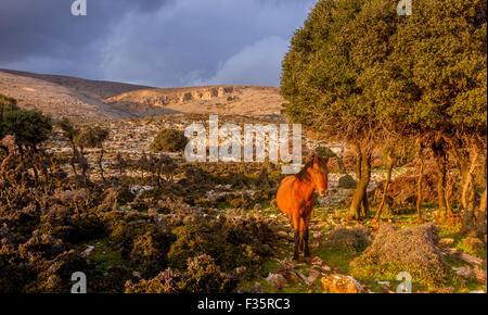 Un cheval sauvage dans l'île de Skyros, en mer Egée, en Grèce. Banque D'Images
