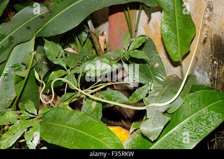 Petit serpent de vigne verte